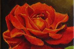 Kleine open rode roos 20x20 op linnen 50,-verkocht